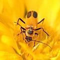 Pennsylvania leatherwing beetle, face in pollen (14754473890).jpg