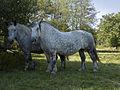 Percherons(Elevage des grandes landes)Mr Réveille Jean-Paul-7-cliche Jean Weber (23455135784).jpg