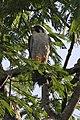 Peregrine Falcon (Falco peregrinus) (8077729007).jpg