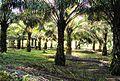 Perkebunan kelapa sawit milik rakyat (91).JPG