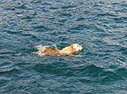 Perro nadador, Santa Cruz de Tenerife, España, 2012-12-15, DD 01.jpg