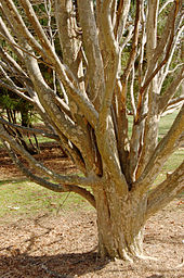 Persian Ironwood Parrotia persica Branches 2000px.jpg