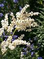 Persicaria alpina 01.jpg
