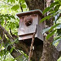 Petaurista leucogenys putting head out of nest box in Kaisho Forest.jpg