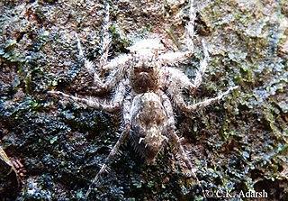 genus of arachnids