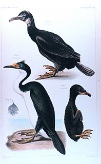 Kerguelen shag Species of bird