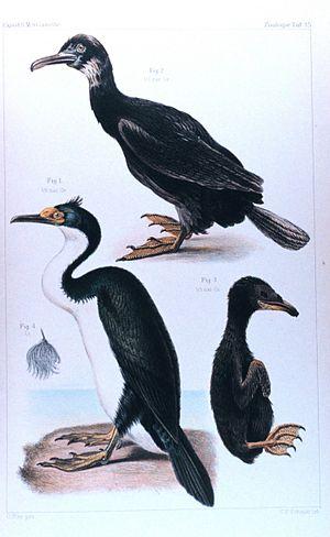 Kerguelen shag - Immature (top), adult (left), and chick
