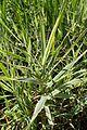 Phalaris arundinacea Variegata kz2.jpg