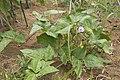 Phaseolus vulgaris 01.jpg