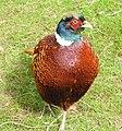 Pheasant (33479112650).jpg