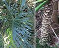 Philodendron bipinnatifolia (20852944989).jpg