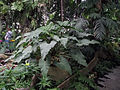 Philodendron simsii.jpg