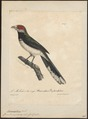 Phoenicophaus pyrrhocephalus - 1825-1834 - Print - Iconographia Zoologica - Special Collections University of Amsterdam - UBA01 IZ18800329.tif