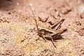 Pholidoptera griseoaptera-pjt2.jpg