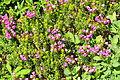 Phyllodoce empetriformis - Paradise, Mount Rainier, August 2014 - 01.jpg