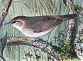 Phylloscopus fuscatus 1889.jpg
