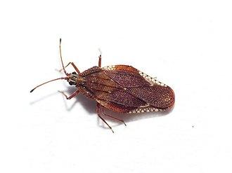 Tingidae - Physatocheila smreczynskii