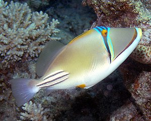 Picasso Triggerfish.jpg