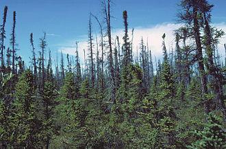 Picea mariana - Black spruce taiga, Copper River, Alaska.