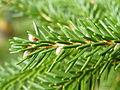 Picea orientalis 28.JPG