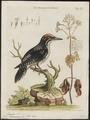 Picoïdes americanus - 1700-1880 - Print - Iconographia Zoologica - Special Collections University of Amsterdam - UBA01 IZ18700033.tif