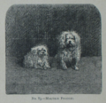 Picture Natural History - No 83 - Maltese Poodles.png