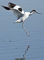 Pied Avocet, Recurvirostra avosetta at Marievale Nature Reserve, Gauteng, South Africa (27802004732).jpg