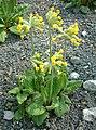 Pierwiosnek prawdziwy Primula veris RB2.JPG