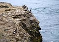 Pigeon Guillemots on the cliff by the sea (4788702289).jpg