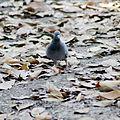 Pigeon Rolling.jpg