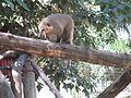 PikiWiki Israel 33158 Brown-nosed coati in Zoo-Botanical Garden Nahariya.JPG