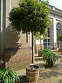 Pillnitz castle. Clethra arborea.jpg