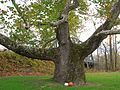 Pinchot Sycamore with pumpkins, Simsbury, CT - Halloween 2012.jpg