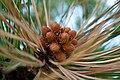 Pine Cones in Flagstaff, Arizona.jpg