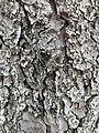 Pine Tree Bark.jpg