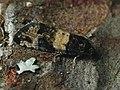 Piniphila bifasciana (40581461784).jpg