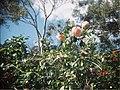 Pink Camellia flowers . - Flickr - Matthew Paul Argall.jpg