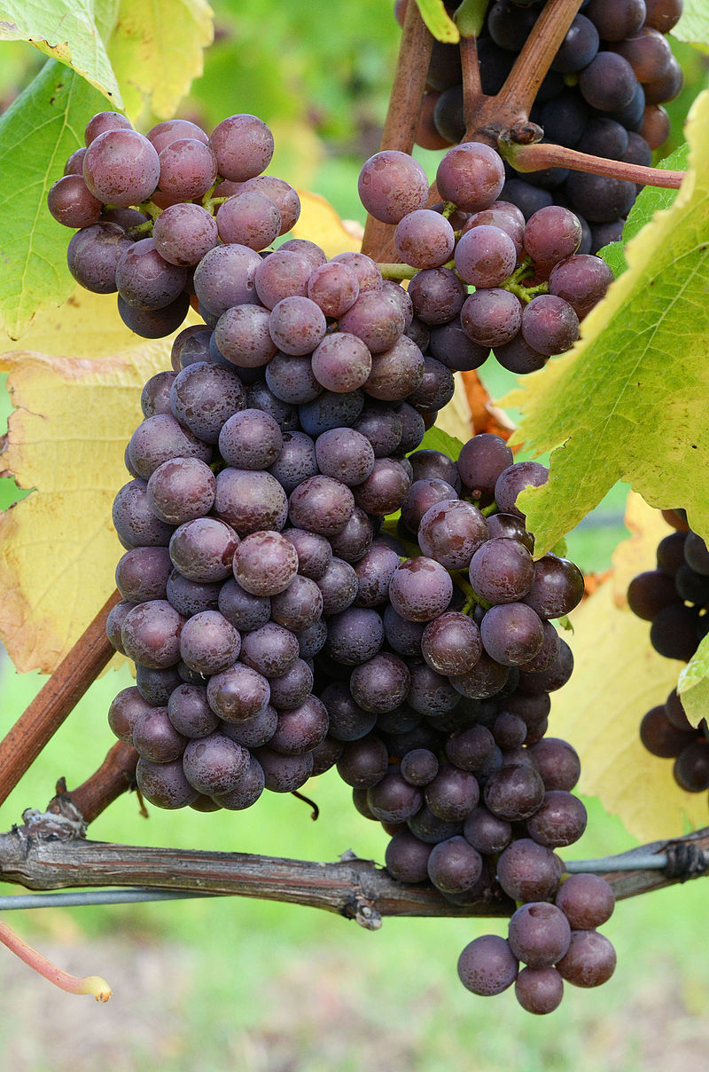 By Mark Smith - Flickr: Pinot Grigio prior to harvest, vintage 2012, CC BY 2.0