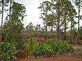 Pinus elliottii densa Okaloacoochee Slough.jpg