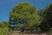 Pinus halepensis, Sète, Hérault 01.jpg