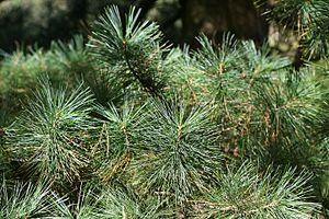 Pinus koraiensis - Image: Pinus koraiensis (Korean Pine) Flickr S. Rae