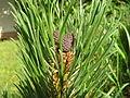 Pinus mugo3 benntree bialowieza.jpg
