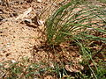 Pinus palustris seedling 4.jpg
