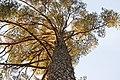 Pinus sylvestris (372206440).jpg