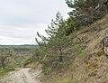 Pinus sylvestris in Aveyron (6).jpg
