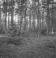 Pinussoorten, grove dennen, prunus serotina, Bestanddeelnr 168-0115.jpg