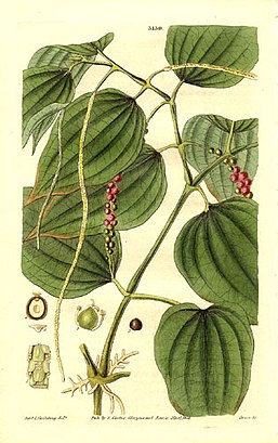 Piper nigrum, la pimienta común, en Curtis's botanical magazine, vol.59, pl. 3139,  London, 1832.