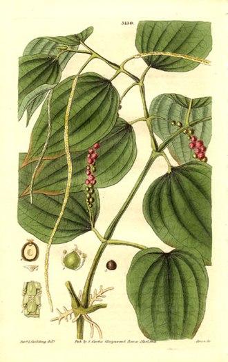 Black pepper - Piper nigrum from an 1832 print