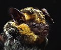 Pipistrelle 2.jpg