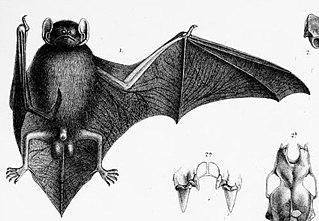 Narrow-winged pipistrelle species of mammal